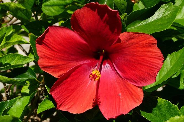 hibiscus une fleur b n fique nappy n 39 ko conseils astuces pour cheveux cr pus fris s et. Black Bedroom Furniture Sets. Home Design Ideas