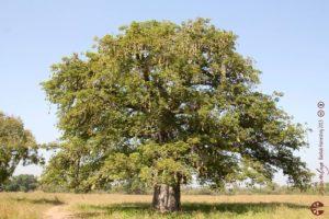 l'arbre baobab