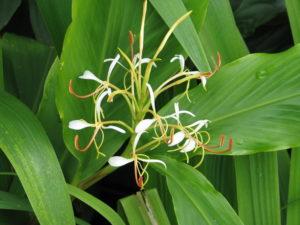 Hedychium spicatum, fleur de la poudre de Kapoor Kachli